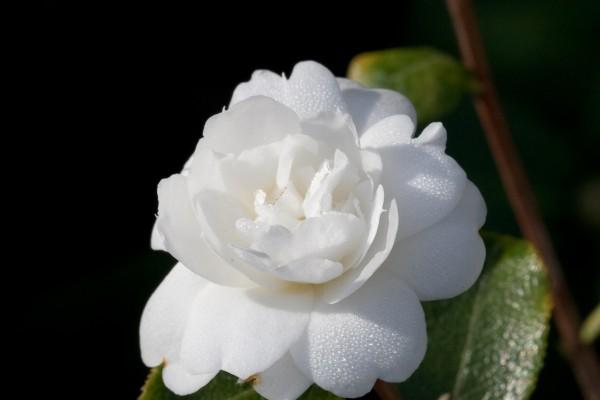 camellia_grijsii_zhenzhucha_20080312_092944-3