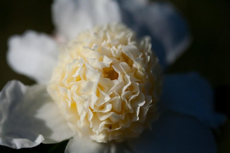 camellia_oleifera_jaune_20131108_142551