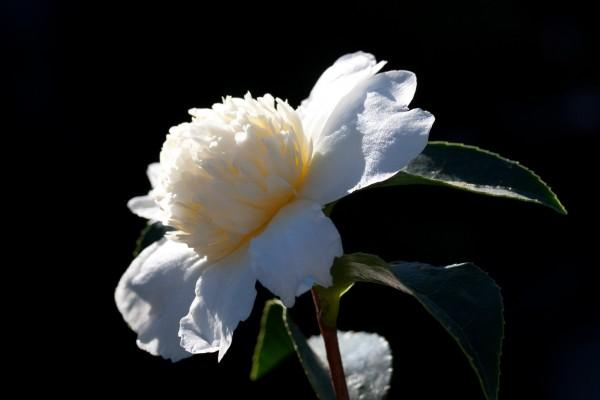 camellia_oleifera_jaune_20131108_142758
