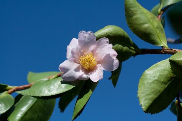 misnamed_obtusifolia_20080919_102020
