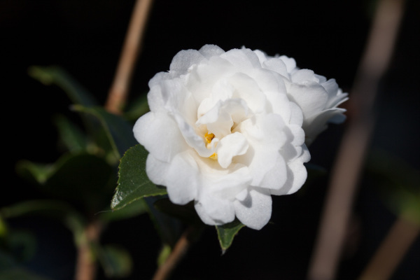 camellia_grijsii_zhenzhucha_20090117_134123