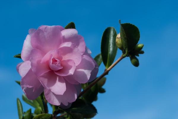 Camellia sasanqua 'Enishi'