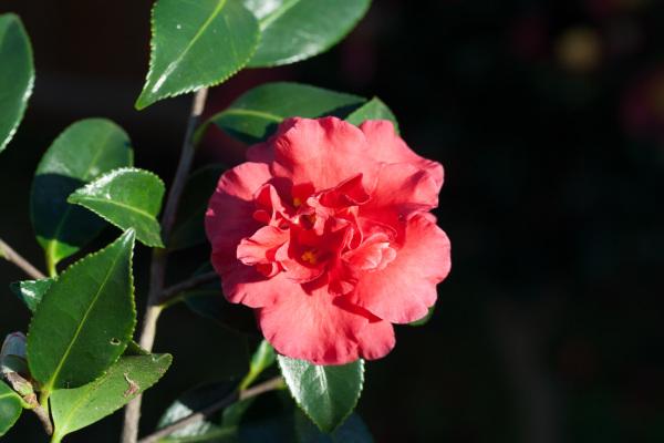 Camellia x hiemalis 'Reverend Ida'