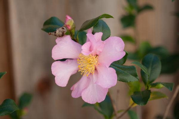 Camellia sasanqua 'Santo-Zaki'