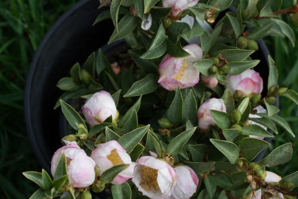 Camellia sasanqua 'Silverado'