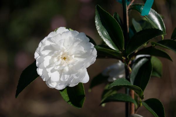Camellia sasanqua 'White Doves'