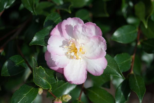 Camellia sasanqua 'Winsome'
