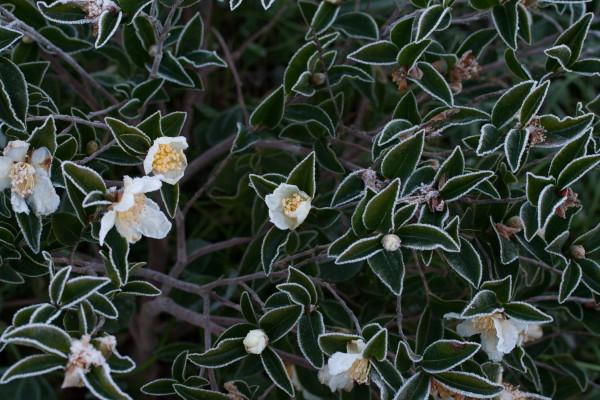 Camellia sasanqua 'Shikoku Stars' under the frost