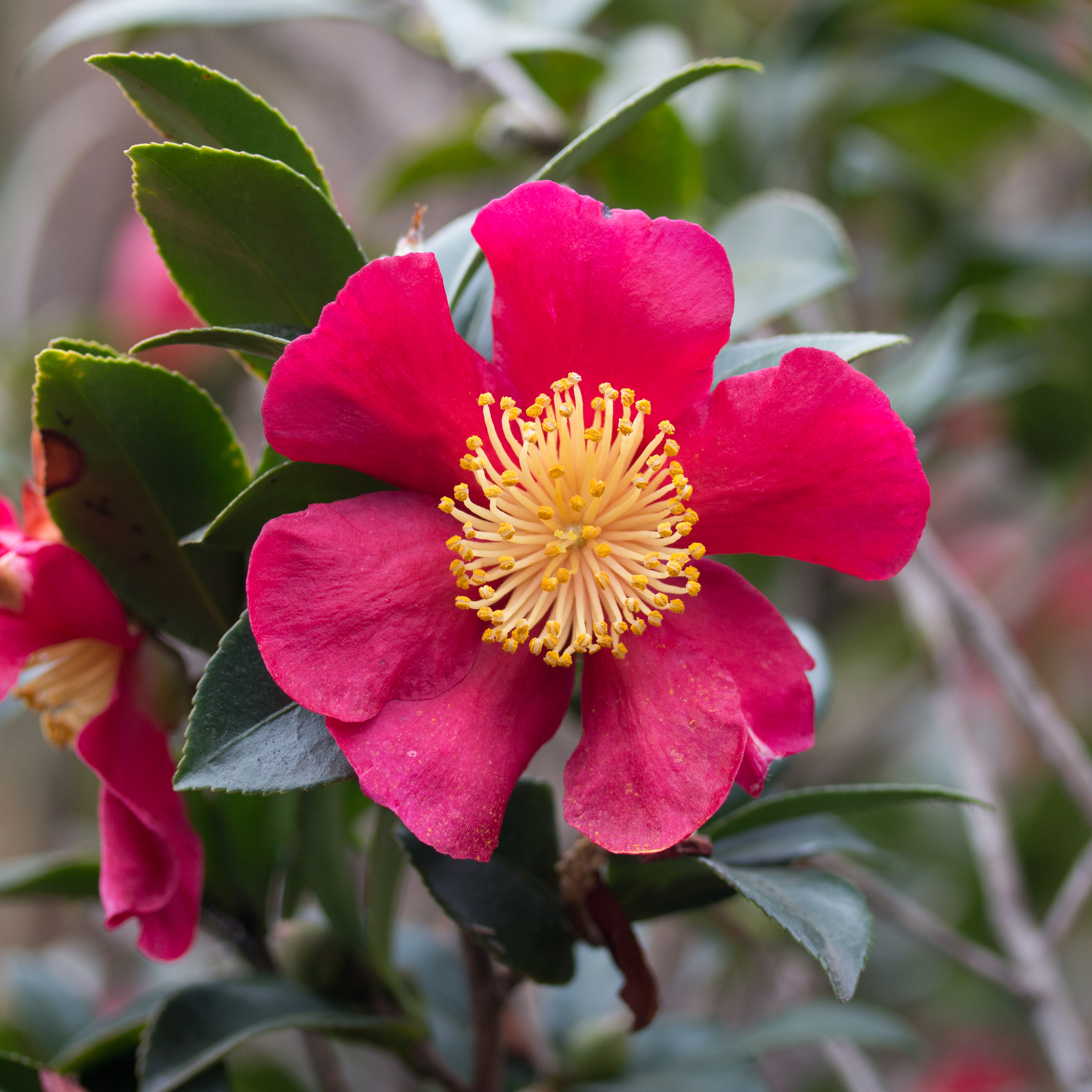 The former king of red among sasanquas camellia x for Camellia sasanqua